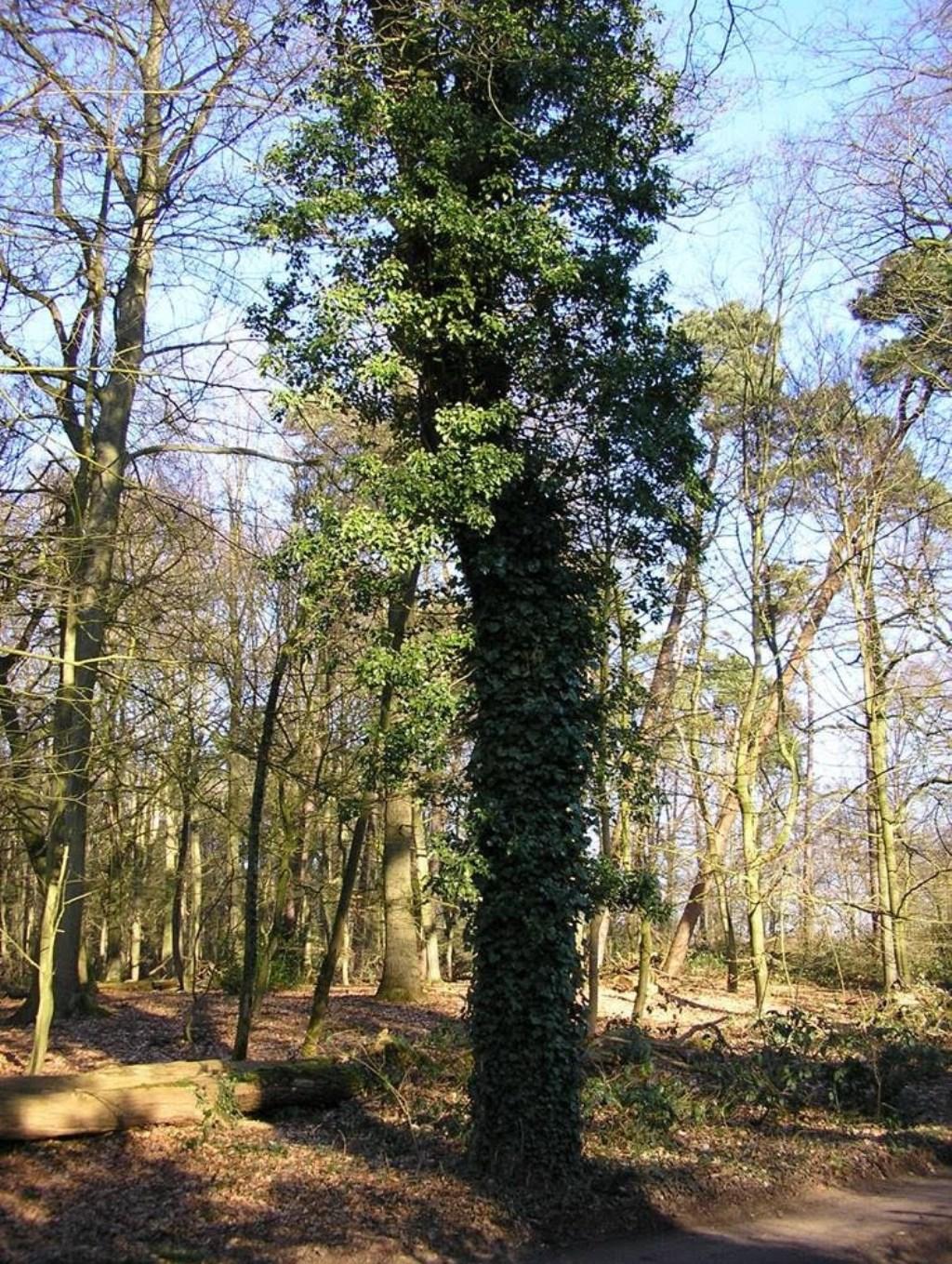 Gewone of groene Klimop in boom. Schuilplaats voor vogels in de winter Foto: Natuurgroep Gestel/ Piet Brugman © MooiGestel