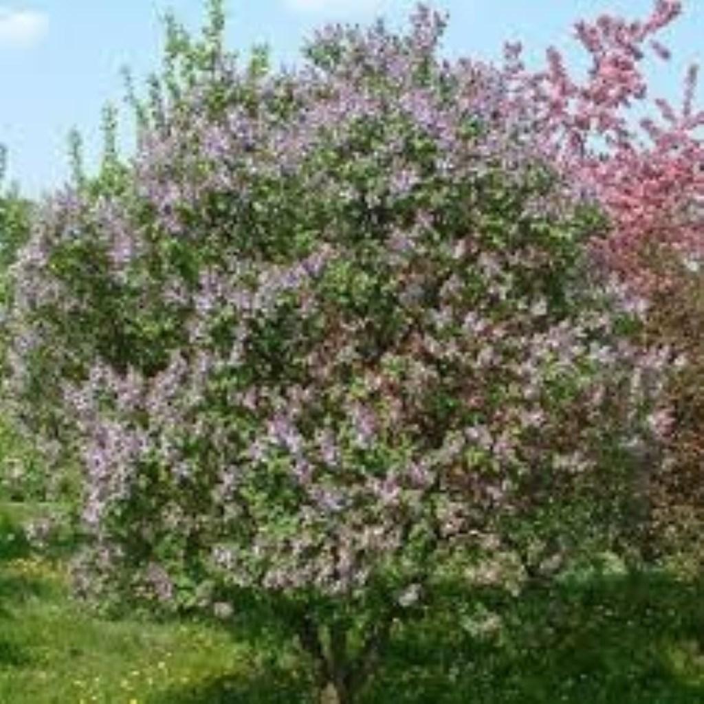 Sering, (Seringa vulgaris) Foto van drachtplant.nl Foto: Natuurgroep Gestel © MooiGestel
