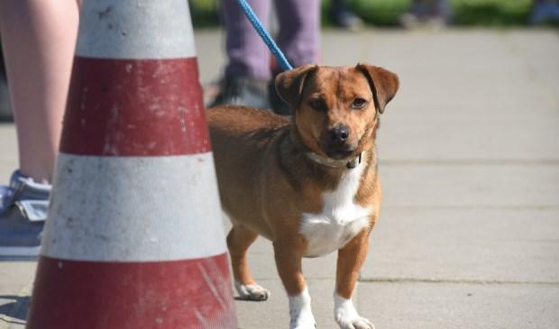 Of deze hond zijn ontlasting op straat achterlaat, is niet bekend. Hij dient hier slechts ter illustratie.