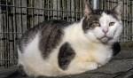 Kattenoverlast niet in APV: niet te handhaven