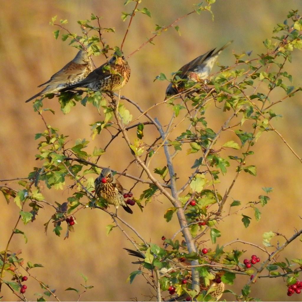 Kramsvogels, familie van de lijster. Foto: Lisette van Helden © MooiRooi