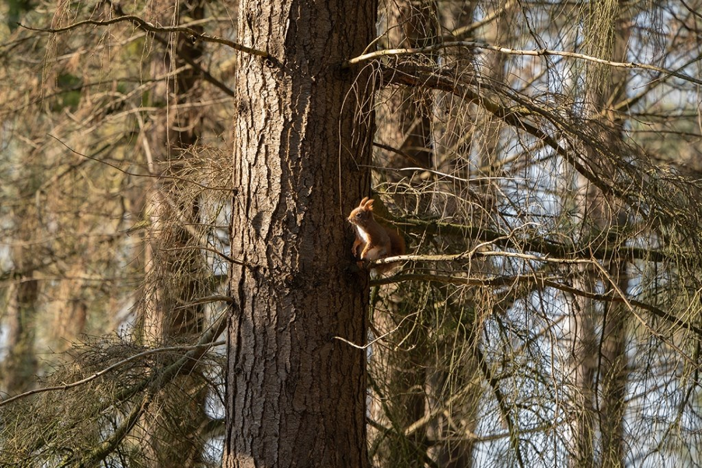 Een eekhoorn gespot. M. Bogaerts Foto: M. Bogaerts © MooiRooi