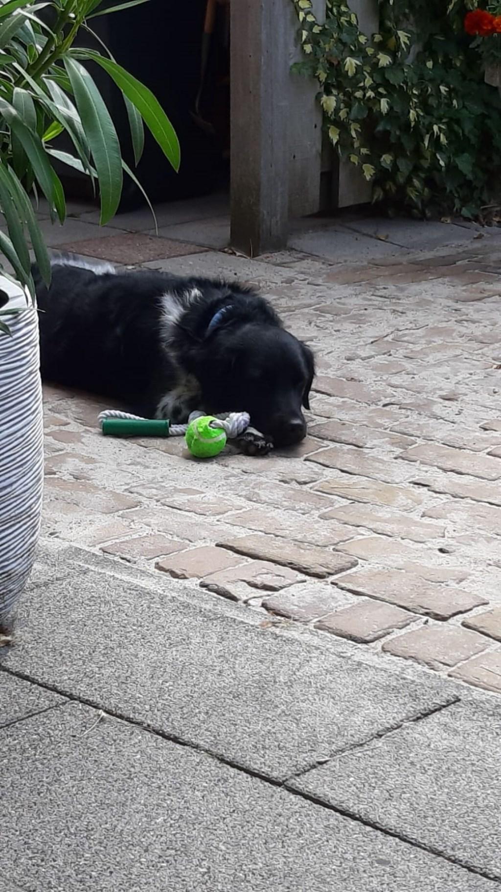 Lekker relaxen in de achtertuin met mijn nieuwe speeltje gekregen van het baasje omdat het vakantie is. Foto: Hans van Dir  © MooiRooi