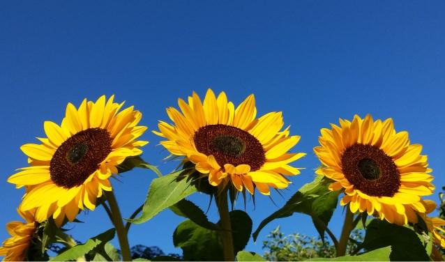 Afbeeldingsresultaat voor zonnebloem