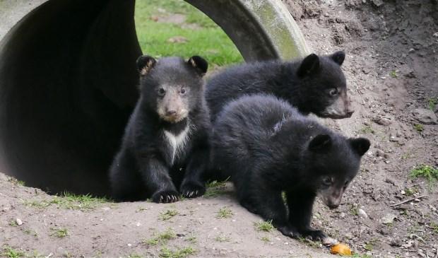 Dierenpark Zie-ZOO is momenteel het enige dierenpark in Nederland met Amerikaanse zwarte beren.