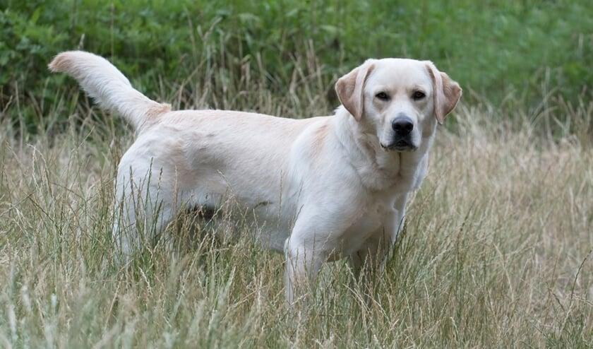 Boyka is een lieve, aanhankelijke labrador reu die op zoek is naar een thuis.