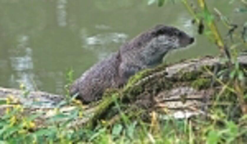 De otter is na 50 jaar afwezigheid op camera gesignaleerd bij de Reeuwijkse Plassen
