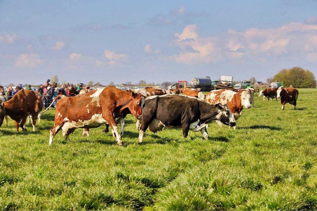 De verheugde koeien  © Graficelly B.V.