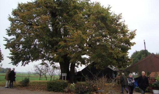 De duizendjarige linde van Achterberg stond vrijdag in de belangstelling. (Alle foto's: Martin Brink)