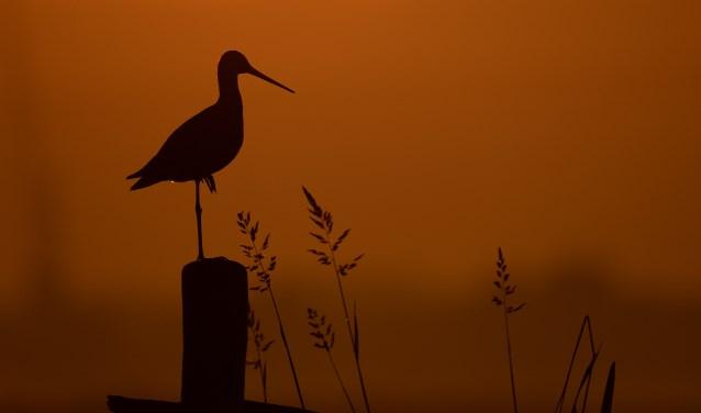 Het Agrarisch Collectief Krimpenerwaard (ACK), de Agrarische Natuurvereniging Lopikerwaard, het Zuid-Hollands Landschap (ZHL) en de Natuur- en Vogelwerkgroep Krimpenerwaard hebben een verbeterplan voor de weidevogels gemaakt. (Foto: Peter Stam)