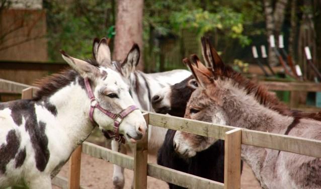 Toen Menno de trailer uitstapte, had zich bij het hek een welkomstcomité van ezels gevormd. Een rijtje uitgestoken neuzen, grote nieuwsgierige ogen en gespitste oren.