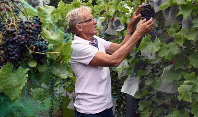 Ad Kox: 'De druiven hebben een prachtige blauwe kleur, maar dat gaat niet vanzelf. Het kost veel tijd en je moet blijven leren.'