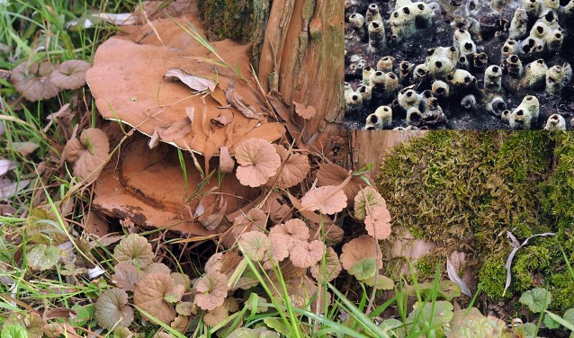 De platte tonderzwam is een zwakteparasiet, hij kan verzwakte levende bomen ziek maken.