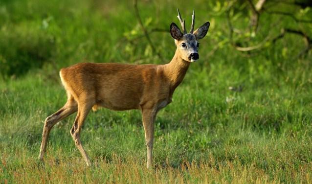 Wat opvalt is het groot aantal sporen van zoogdieren, vooral reeën en konijnen.
