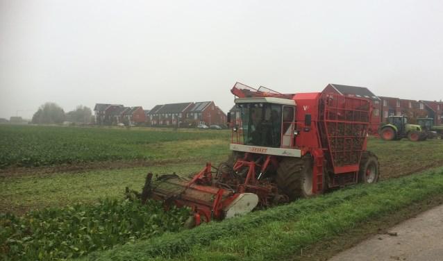Het oogsten van de sacharoseknollen. (Foto: Benno Geerlings)