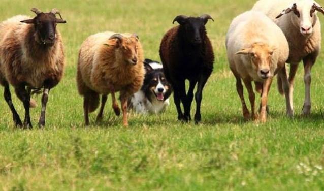 De bordercollie Roy is super geconcentreerd om de schapen bijeen te houden