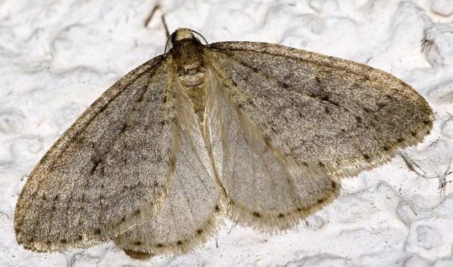 Kleine wintervlinder. (Foto: Stichting BuitenZinnig)