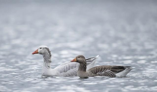 Er zitten heel veel ganzen in De Bijland. Wilt u ze zien vertrekken vanaf hun slaapplaats, dan moet u vroeg uit de veren. (foto: Shutterstock)
