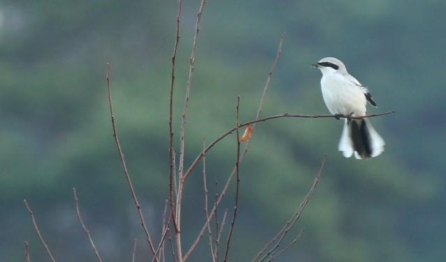 De Klapekster speurt vaak vanaf een tak zijn omgeving af. Foto: Tom Schoonhoff
