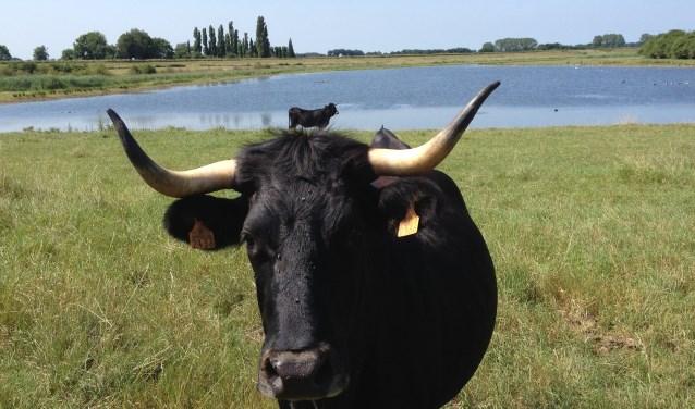De tauros graast de laatste jaren in Keent tussen Grave en Overlangel. (foto: Brabants Landschap).