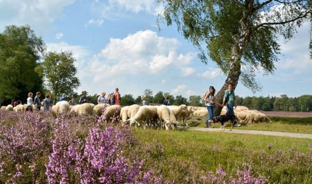 De schapen hebben weinig moeite met loslopende honden maar om de groei van het aantal bezoekers te compenseren door de bouw van een nieuwe uitspanning wil de provincie Gelderland dat het honden in een groter gebied aangelijnd moeten worden.