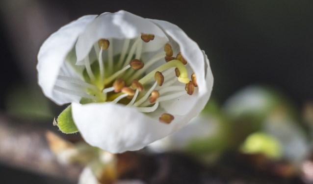Puttens weekblad de bloesem van de blauwe pruimenboom