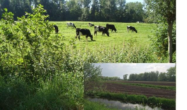 Vorig jaar graasden er nog koeien op het landgoed, waar nu mais ingezaaid zou zijn (inzet). (Foto's: werkgroep Liefhoven)