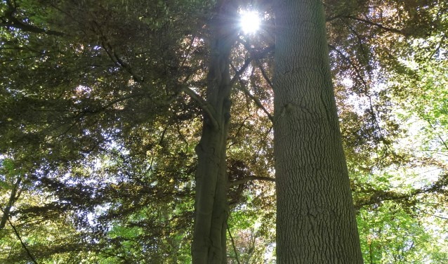 Deze twee essen behoren tot de 15 bomen die toegevoegd zijn tot het Landelijk Register van Monumentale Bomen. Ze zijn met een lengte van 35 en 37,4 meter opmerkelijk hoog.