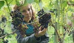 Esther Schoenmaker inspecteert de trossen, bijna rijp voor oogsten (eerder najaar).