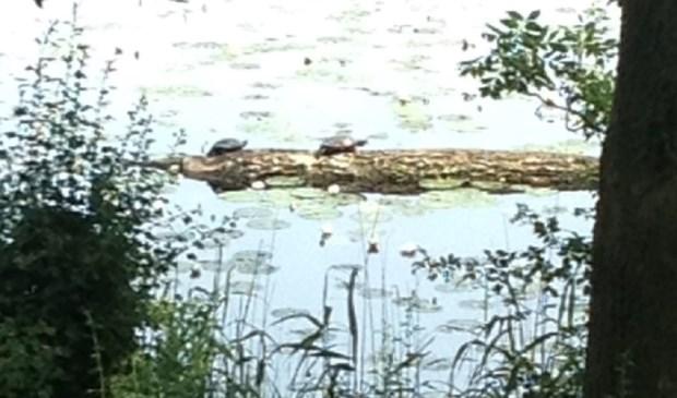 'Wilde' schildpadden aan de wandel langs de Oostgracht. Foto: Antien van Berkel