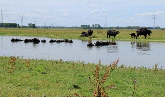 De waterbuffels liggen regelmatig te badderen in één van de kreken en de grote Schotse Hooglander-stier heeft leren zwemmen.
