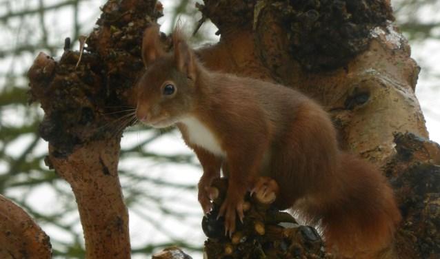 Waakzame eekhoorn, klaar voor een sprong. Zijn staart is zijn stuur tijdens de vlucht. (Foto: Gerard Lijten)