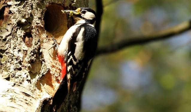 In de Oosterse Bos op  't Harde stond ik oog in oog met deze Bonte Specht die zijn jongen wilde gaan voeren, snel een foto gemaakt en de vogels weer met rust gelaten, het nest zat vlak aan het wandelpad