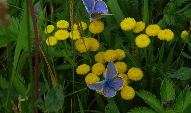 Twee Icarusblauwtjes in de Vlindertuin aan de Bermweg in Capelle aan den IJssel.