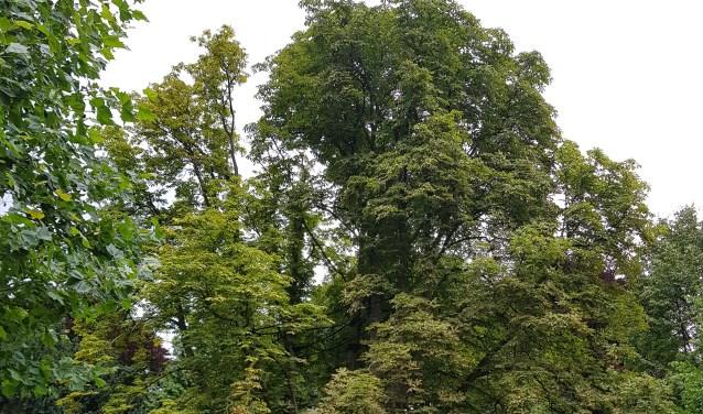 Omdat de veiligheid niet meer te garanderen is, wordt de boom op woensdagochtend 9 augustus gekapt.
