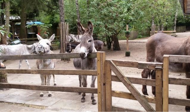 Dieske (rechts) staat overal graag met zijn neus bovenop. Hij is dus de uitgelezen ezel voor een bijzondere taak: de burgemeester ontmoeten! Of zal Jelle (links) het hart veroveren?
