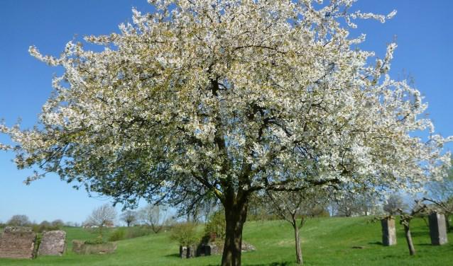 De zoete kers is een van de bomen die het levensbos in Rosmalen gaan vormgeven. Andere bomen die aangeplant kunnen worden zijn de bruine beuk, haagbeuk, lindeboom en tamme kastanje.