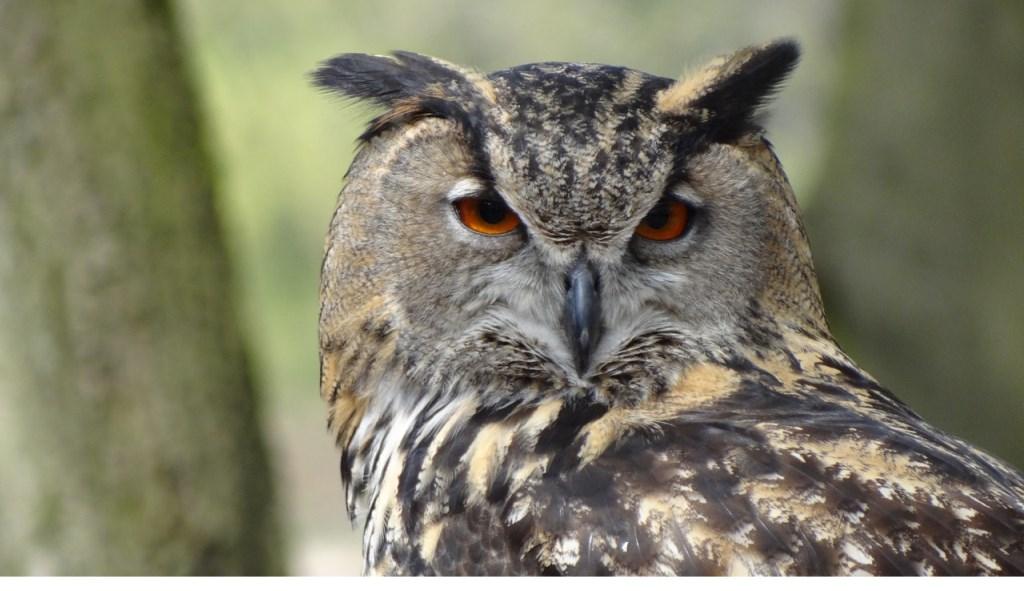De Partij voor de Dieren komt in actie voor aangebonden uilen. (Foto: Pexels.com)