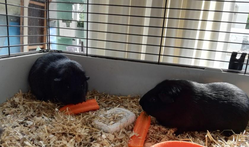 Cavia's Tippie en Toppie helpen Mariëlle bij haar kindcoaching.