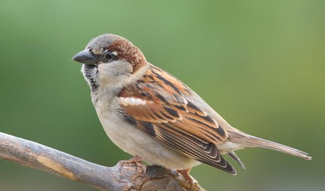 De huismus is het meest geteld in Zevenaar tijdens de Tuinvogeltelling. (foto: Shutterstock)