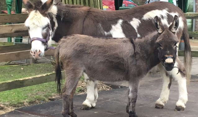 De foto is van Goofert, de grote bonte ezel, hij is 20 jaar. De kleine ezel is Froukje, 7 jaar.