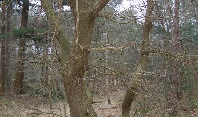 Vooral dikke, oude bomen zijn belangrijk voor de biodiversiteit. Hierin zitten vaak holtes en nesten voor vogels.