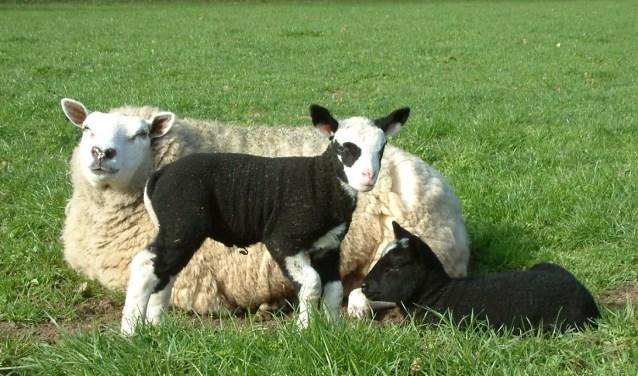 De workshop schapen verlossen geeft dierhouders vertrouwen. Foto: Jolette van Eijden