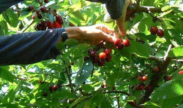 'We zullen gaan oogsten 'naar reikwijdte'. In het kort komt het erop neer dat we de vruchten plukken waar we bij kunnen. Alles buiten ons bereik is voor de fauna die er wel bij kan.' (foto: Stichting BuitenZinnig)