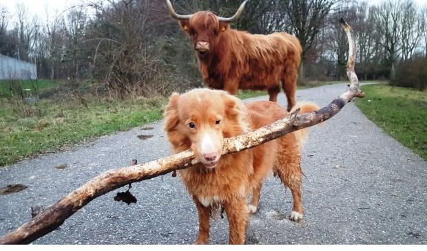 Twee Schotse Hooglanders?