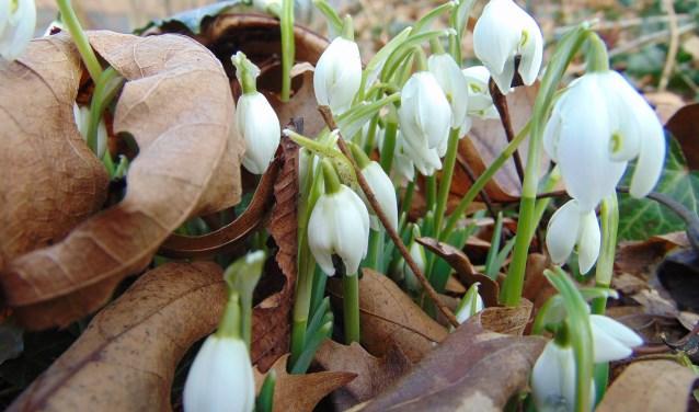 De bloem van het sneeuwklokje lijkt wit, maar is kleurloos.
