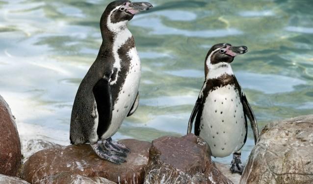 Wist je dat pinguïns net als andere vogels veren hebben en geen vacht zoals vaak wordt gedacht.