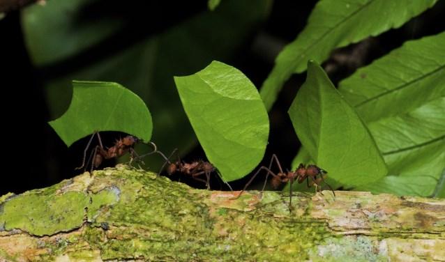 Wist je dat: het ondergrondse nest van de bladsnijdermieren net zo groot kan worden als een personenauto!