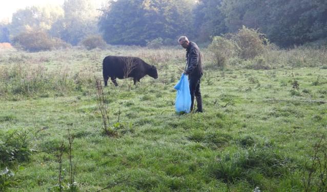 Een deelnemer aan de schoonmaak actie in de natuur in aanwezigheid van een galloway rund