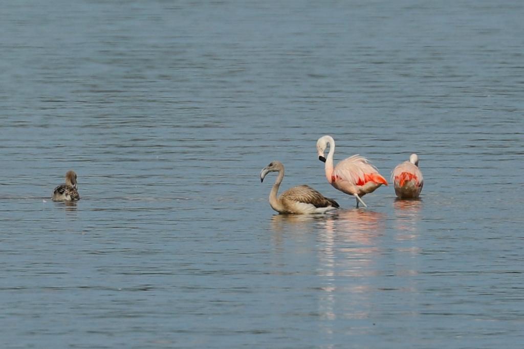 Flamingo In Huis : Huis aan huis elburg natuur in elburg flamingo s